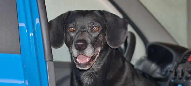 Hunde im Auto – Im Sommer kann es zur tödlichen Falle werden