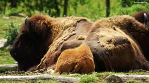Bison Welttierschutztag