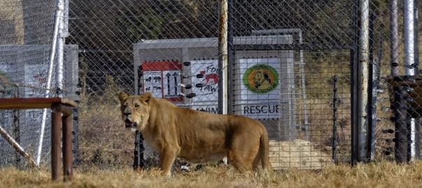 Leidgeprüfte Löwen aus Rettungsstation beginnen neues artgerechtes Leben in Südafrika