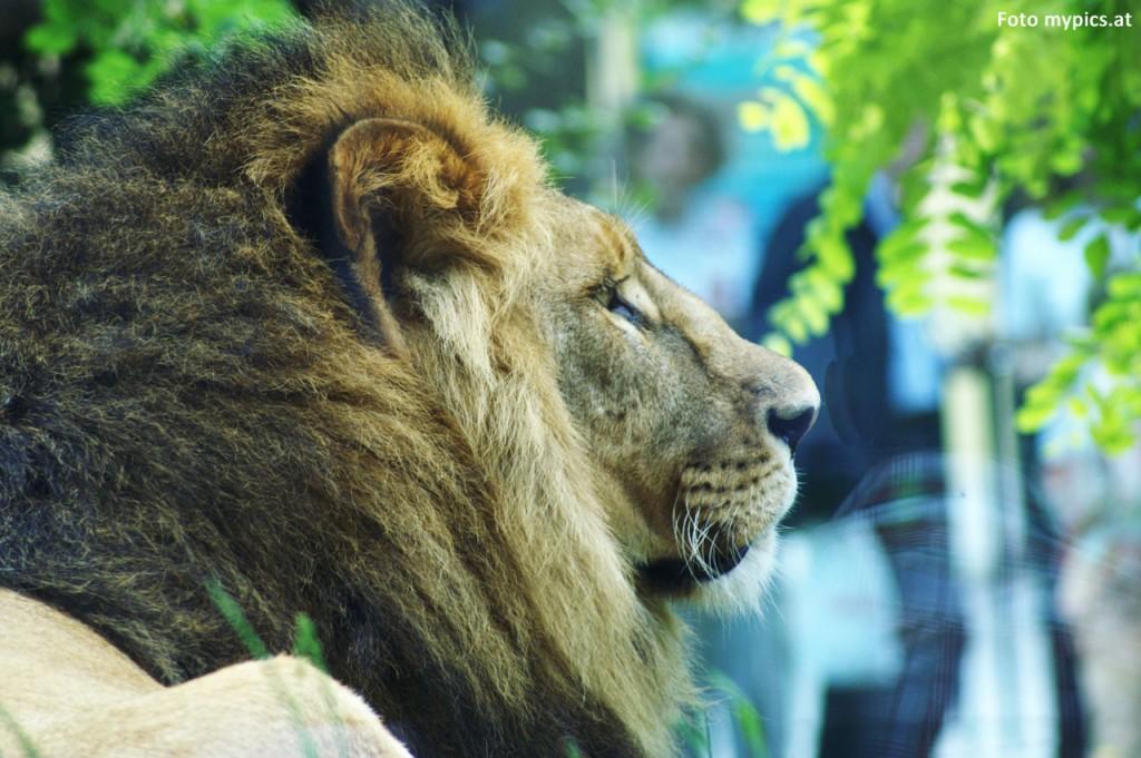 Zoo Löwe